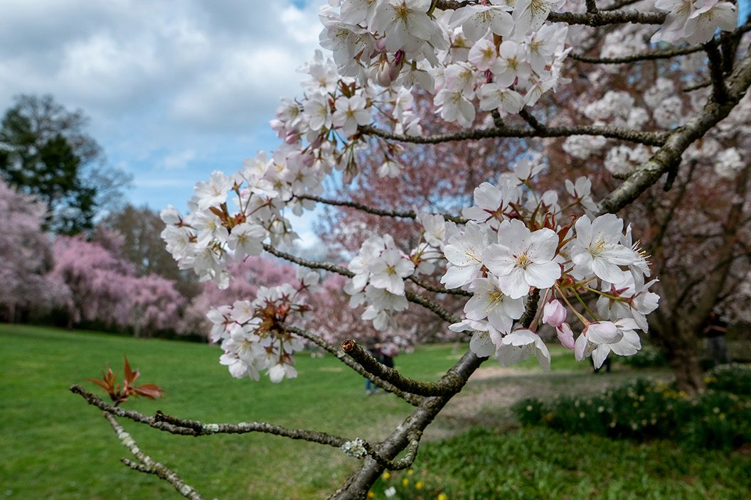 Cherry blossom in foreground
