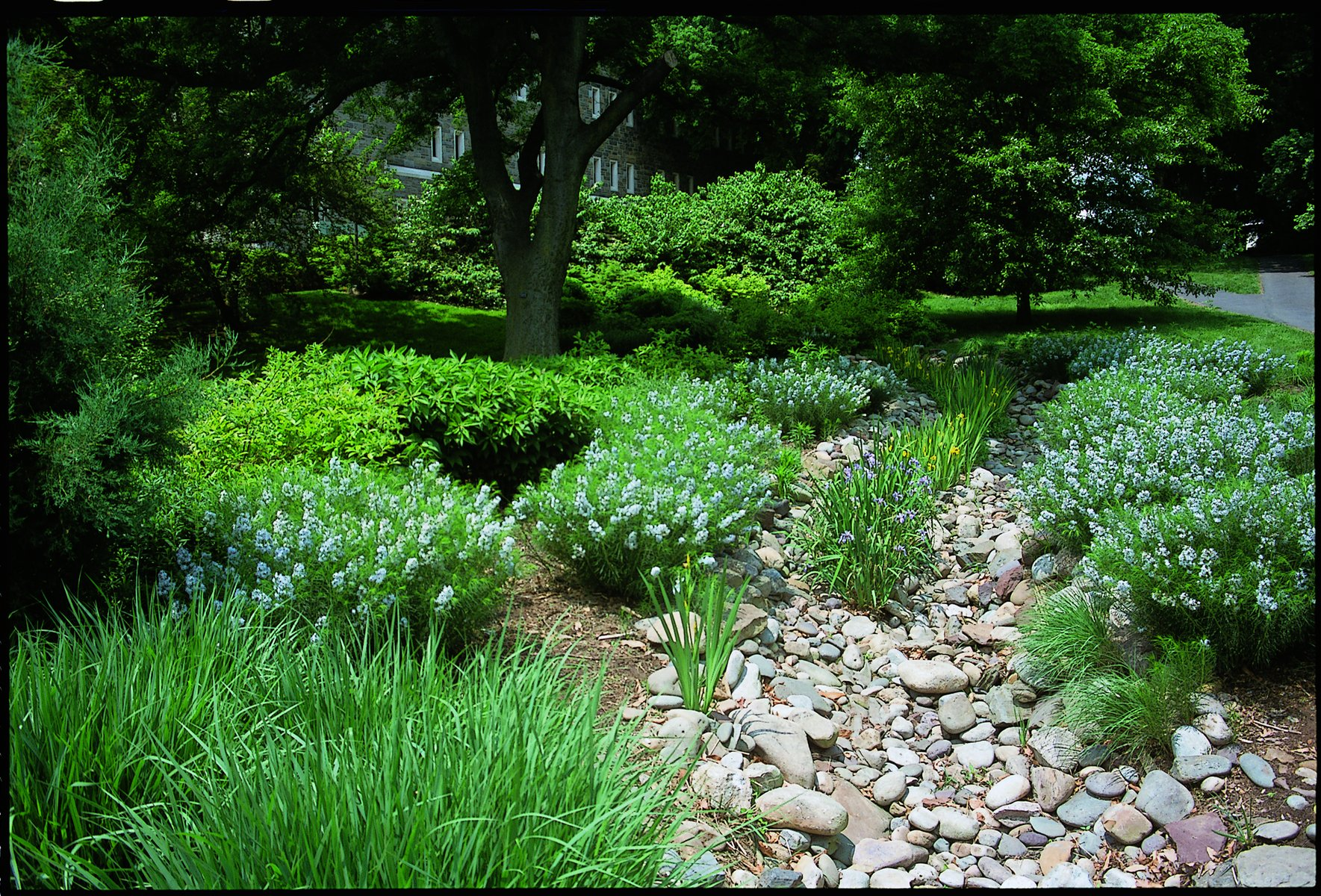 "Image of the Bio Stream located behind McCabe Library, as seen looking uphill towards Mccabe library when standing with Willets dorm to the right. This image shows a dry ""stream"" composed of rocks and pebbles snaking around.Green bushes with pale blue inflorescences line the Bio Stream. Daffodil-like plants, some with blue flowers, some with yellow, grow in the middle of the stream. Stone wall of Mccabe library is visible in the background, partially obscured by lush trees and bushes in the middle ground."