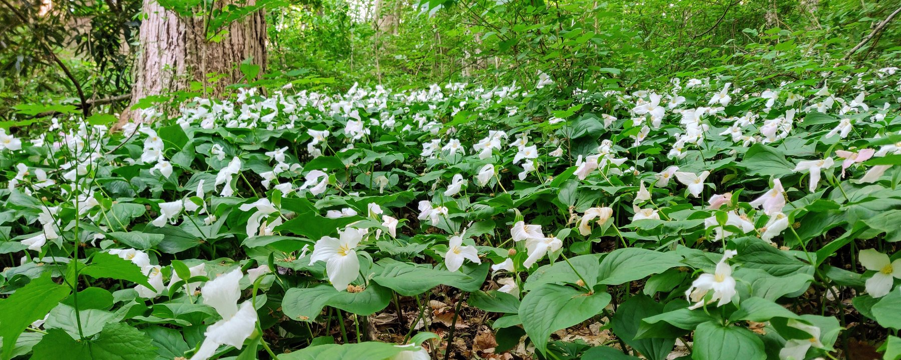 A field of trilliums in the Crum Woods